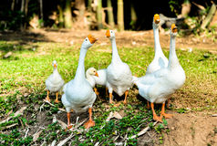 White domestic goose. Walking on the grass stock image