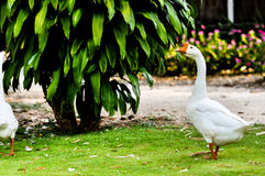 White domestic goose. Walking on the grass royalty free stock photo
