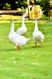 White domestic goose. Walking on the grass stock images