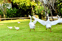 White domestic goose. Walking on the grass stock photography