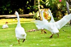 White domestic goose. Walking on the grass stock photo