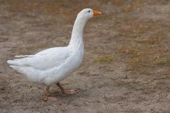 White domestic goose walking on the ground at autumnal season. Big white domestic goose walking on the ground at autumnal season royalty free stock image