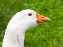 White domestic goose walks in the grass. Farm animal.  stock image