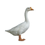 White domestic goose on white background Stock Images