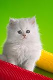 White domestic kitten, color Royalty Free Stock Photo