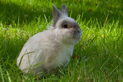 White domestic rabbit Stock Photos