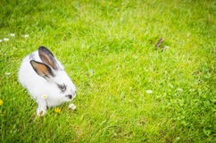 white domestic rabbit on a green meadow Royalty Free Stock Image