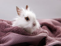 White Domestic Rabbit Nestled in Violet Bath Towel. Photo in studio Stock Photography