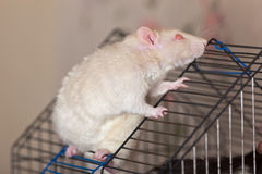 The white domestic rat Stock Images