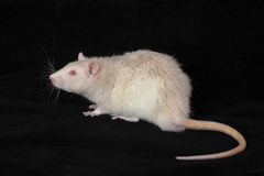 White domestic rat Royalty Free Stock Photos