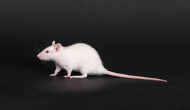 White domestic rat Royalty Free Stock Photo