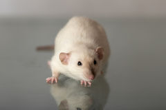 White domestic rat with a dark nose Royalty Free Stock Photography