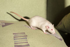White domestic rat Stock Images