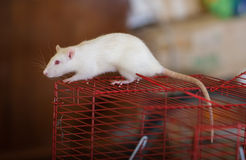 White domestic rat Royalty Free Stock Photo