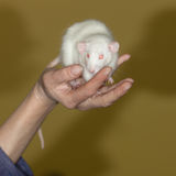 White domestic rat Stock Image