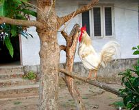 White Domestic Rooster with Red Comb sitting on Branch of a Tree in an Indian Village. This is a photograph of a white rooster - cock, gallus gallus - with red royalty free stock images