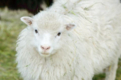 White domestic sheep Royalty Free Stock Photography