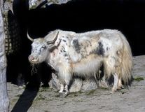 White domestic yak 1 Stock Photography
