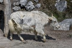 White domestic yak 3 royalty free stock photos