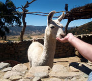 White domesticated lama Stock Images