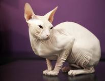 White Don Sphinx cat. On the table Royalty Free Stock Photo
