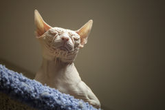 White Don Sphinx cat Stock Photo