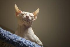 White Don Sphinx cat. Sleeps Stock Photo