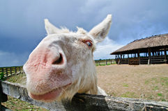 White donkey royalty free stock photo