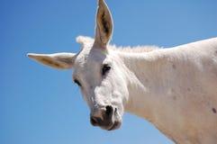 White Donkey Stock Images