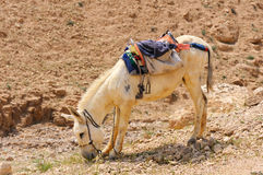 White donkey Stock Photo