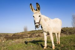 White donkey Royalty Free Stock Image