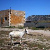 White donkey. On the donkey island Asinara in Sardinia Stock Image