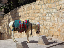 The white donkey in an ancient harness Royalty Free Stock Images