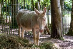 White donkey in a animal enclosure. With hay in the foreground royalty free stock photos