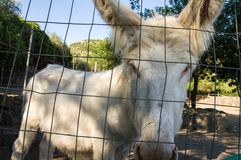 White donkey of Asinara. Equus asinus var. albina Stock Images