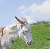 White Donkey in a Beautiful Meadow Stock Photo