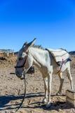 White donkey in a egyptian desert not far from Hurghada city. White donkey in egyptian desert not far from Hurghada city royalty free stock image