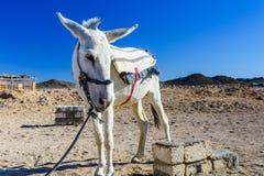 White donkey in a egyptian desert not far from Hurghada city. White donkey in egyptian desert not far from Hurghada city royalty free stock images