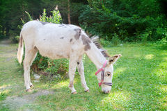 A white donkey Stock Photography