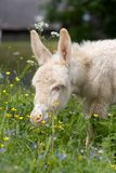 White donkey foal Stock Photography
