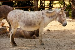 Donkey in the foreground. White Donkey in the foreground Royalty Free Stock Photo