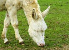 White donkey grazing Stock Photos