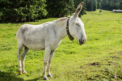 White donkey Royalty Free Stock Photos