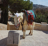 The white donkey in Jerusalem Stock Photo