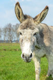 White donkey looking at you Royalty Free Stock Photos