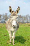 White donkey looking at you Royalty Free Stock Photo