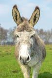 White donkey looking at you Stock Image