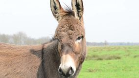 White donkey looking at you stock footage