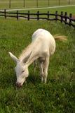 A white donkey Stock Image