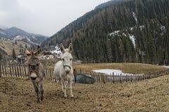 White donkey portrait Royalty Free Stock Photography